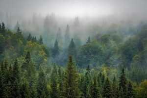 למה אנחנו משתמשים בעץ אורן?